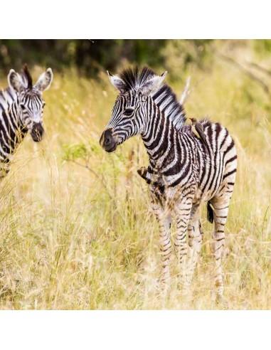 Tableaux Animaliers,Tableau photo: zébreaux