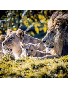 Tableaux Animaliers,Tableau photo: Famille Lion