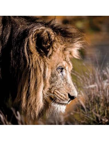 Tableaux Animaliers,Tableau photo: Lion